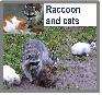 Do Raccoons Kill Cats