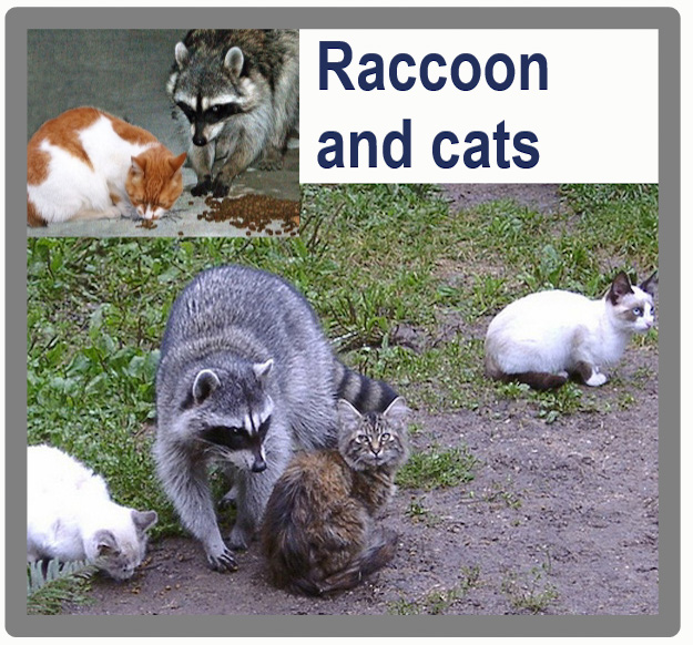 Raccoon and cats