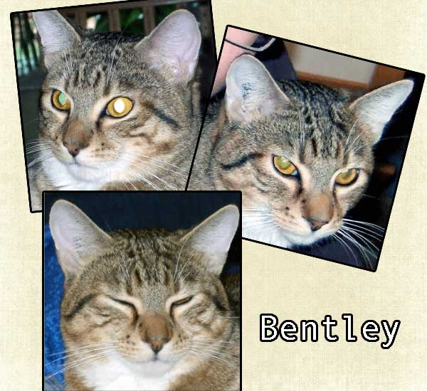 Bentley a cat with no purr