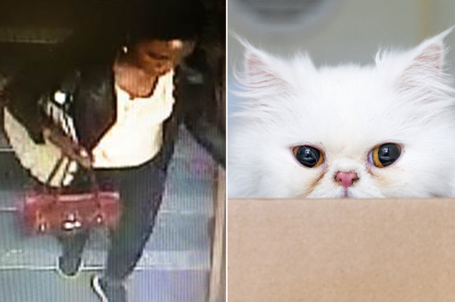 Woman Stole White Persian Rescue Cat From Shelter Because He was Reserved