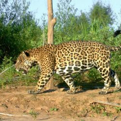 How do Jaguars adapt to the rainforest?
