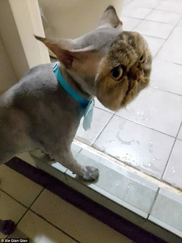 Persian cat completely shaved except for his face