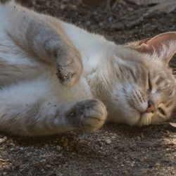 Why do cats roll in dirt?