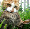 Would a cat attack a rabbit?