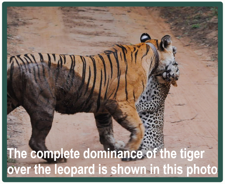 Tigers versus leopards