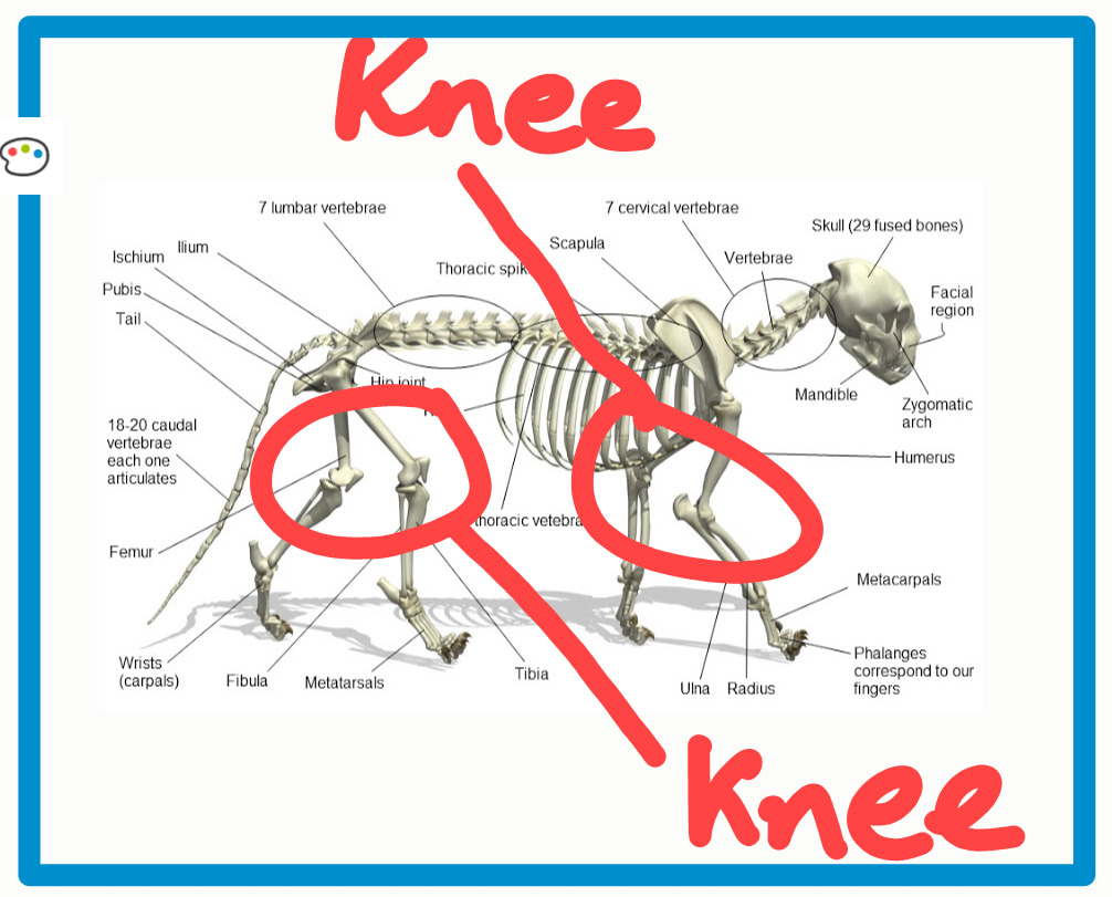 Do cats have knees?
