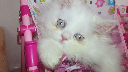 Shirazi cat