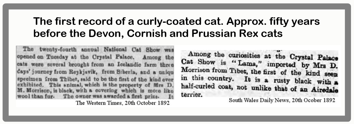 Thibet curly coated cat discovered half century before established rex cats