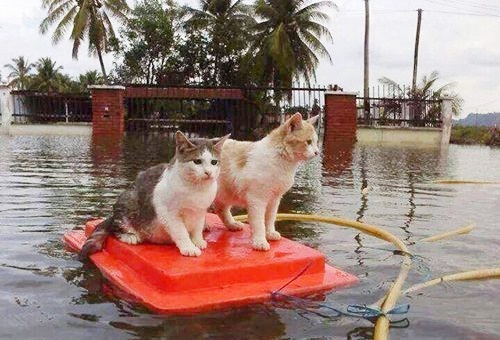 Cats in flood