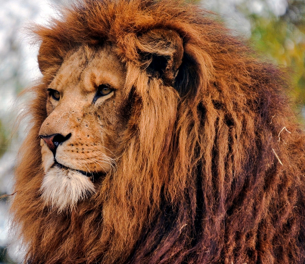 The superb mane of a lion is about appearance and protection