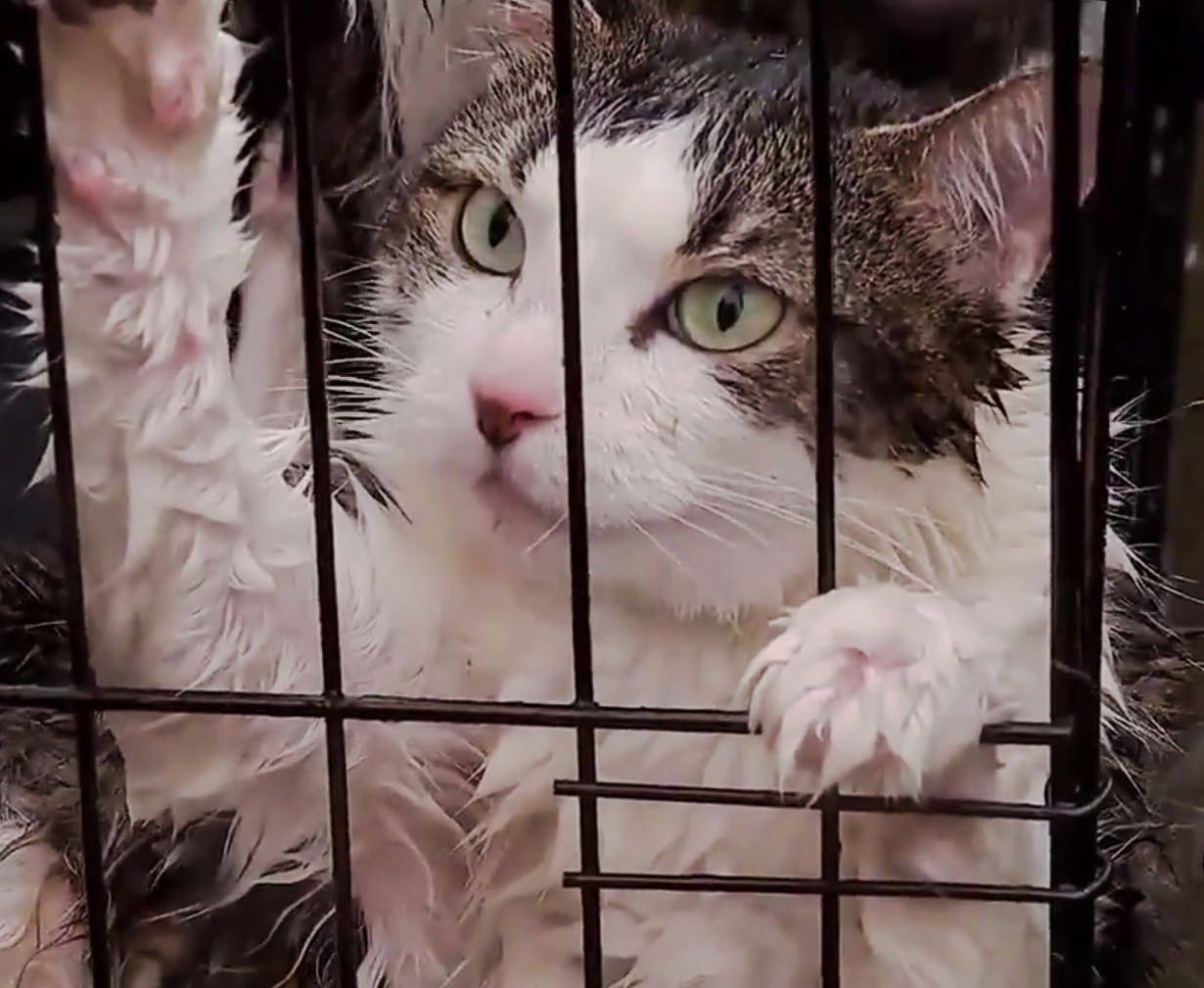 Cats rescued during Hurricane Harvey
