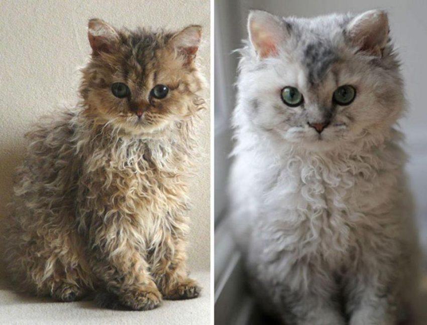 Selkirk Rex kittens