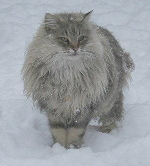 Cat ruff