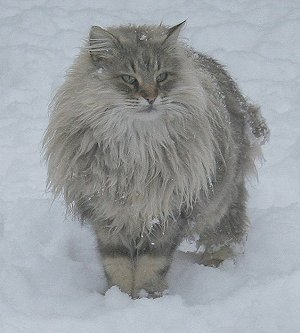 What Is A Cat Ruff