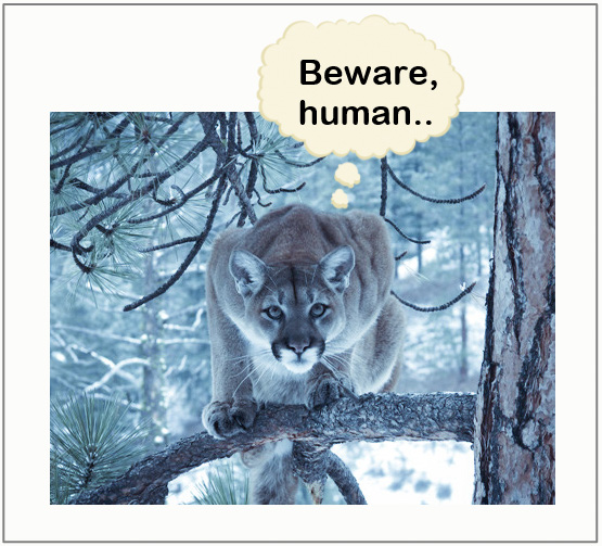 Mountain lions are frightened of humans