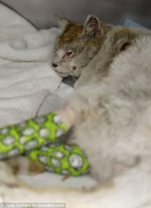 Cats suffered burnt paws and smoke inhalation in Calif wild fires
