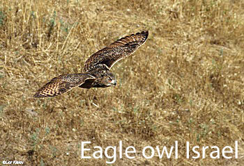 Eagle owl in Israel an enemy of the sand cat