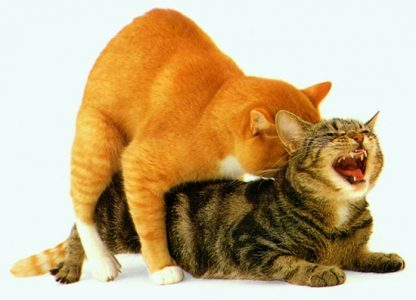Cat behavior changes after spaying