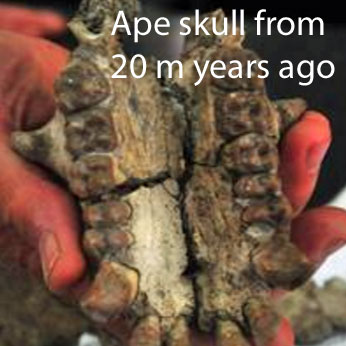 Ape skull from 20 million years ago