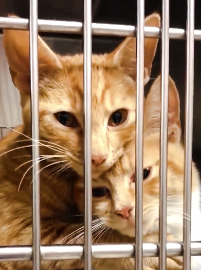 Cat sisters in shelter cage hug each other