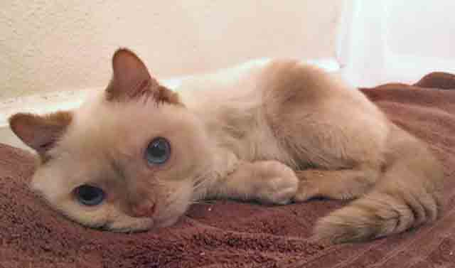 Trident, a three-legged flame pointed Siamese type cat
