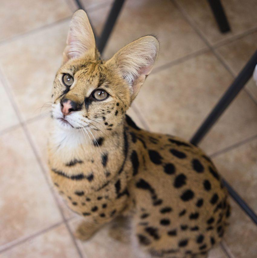 Escaped serval in Pennsylvania