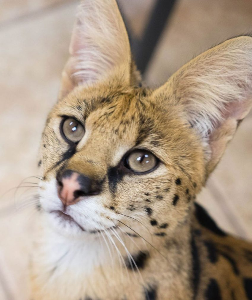 Escaped serval Reading PA