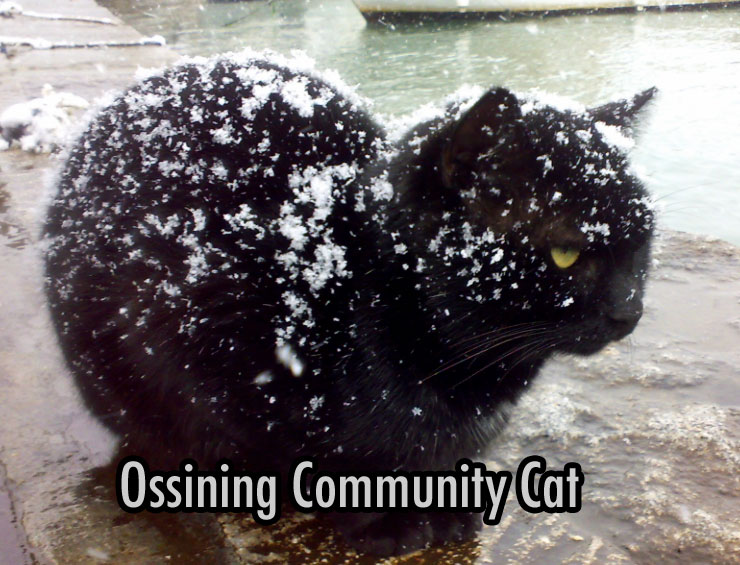 Ossining feral cat in winter exposed to the elements