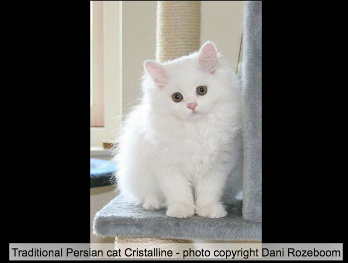 Picture of white Persian kitten Cristalline