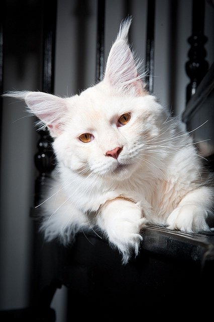 White Maine Coon not an albino bobcat