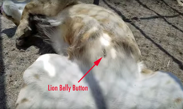 Lion belly button