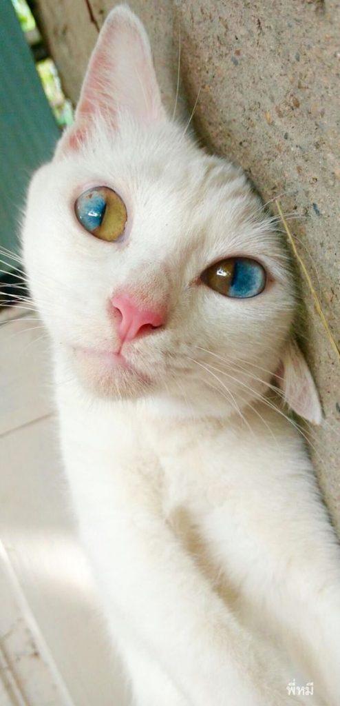 Odd-eye color in each eye of this cat