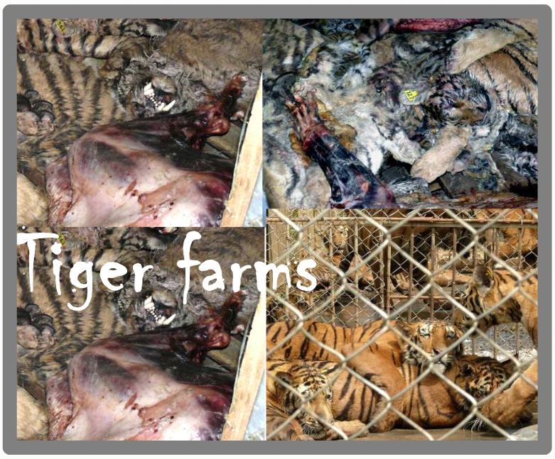 Tiger Farms