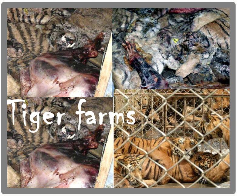 Tiger Farms