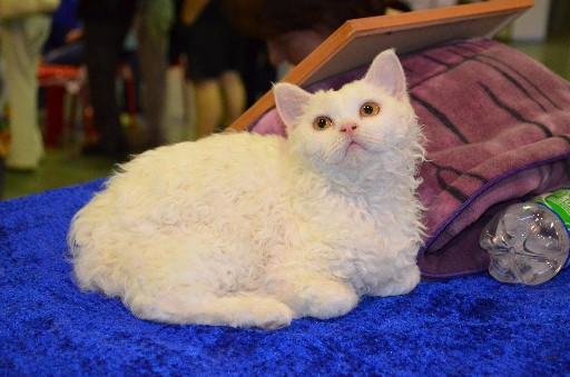 Fleecy Cloud Cat Breed