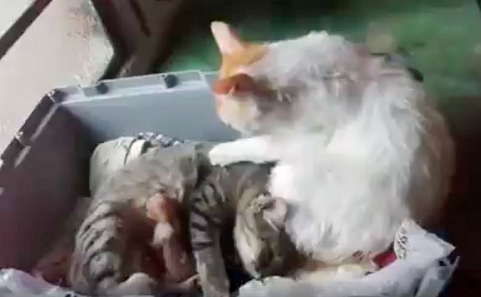 Video Of Father Cat Comforting Mother With Newborns