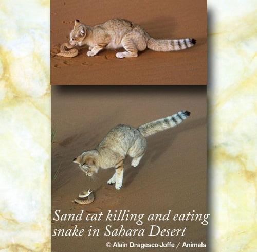 Sand cat killing and eating a Saharan snake