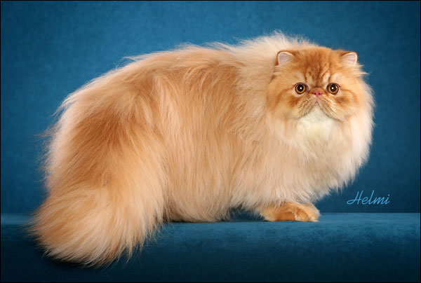Abnormal cat breeds