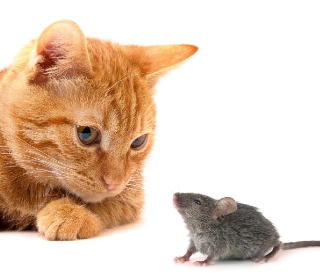 Mouse Chasing Game For Cats