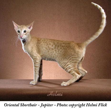 The Hidden Wildcat in the Oriental Breed