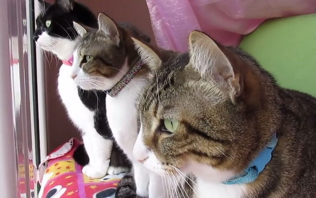 Cat chattering (vacuum activity)