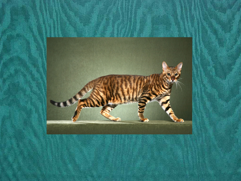 Why are tabby cats called tabby cats?