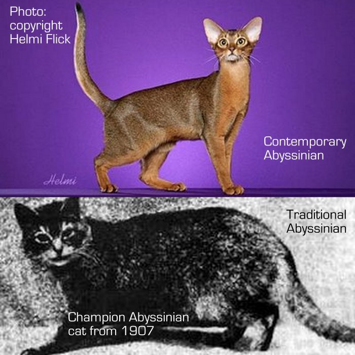 Abyssinian cat tradtional and modern
