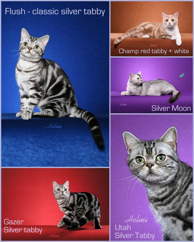 American Shorthair cats with tabby coats