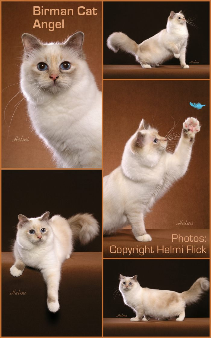 Birman cat Angel in a collage