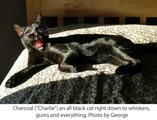 black cat Charlie yawning