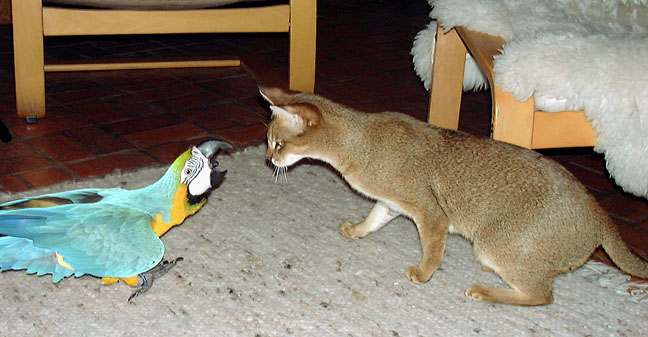 chausie cat and macaw face off