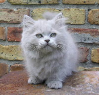 Dwarf persian kitten
