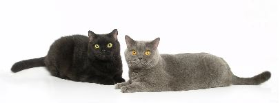 Helmi Flick cat photography - her British Shorthairs