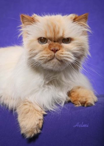 – An adorable old and distinguished Himalayan cat (pointed Persian ...